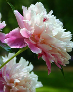 5113_031510_rose.jpg
