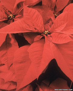 ft_poinsettias05.jpg