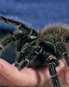 pk_4019_tarantula.jpg