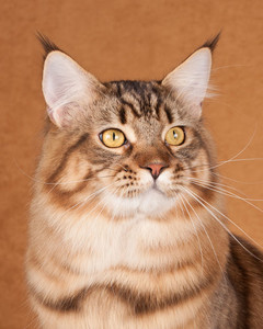 cat-breeds-ii10-527.jpg