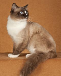 cat-breeds-ii24-551.jpg
