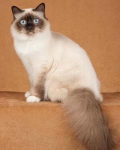 cat-breeds-ij29-492.jpg