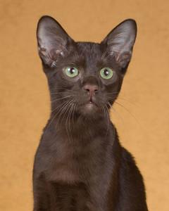 cat-breeds-ji22-076.jpg