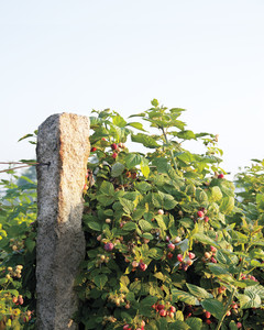 berry-bushes-mld107637.jpg