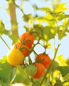 mld103321_0308_tomatoes.jpg