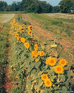 a98035_1101_sunflowerwall.jpg