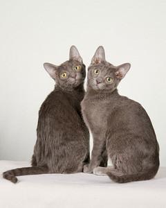 cat-breeds-korat-me16_167.jpg