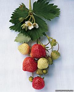 mla100936_sip08_strwberry.jpg