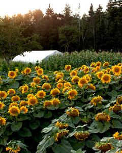 sunflowers-four-season-farm.jpg