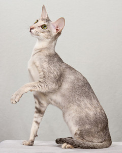 cat-breeds-oriental-mj10_609.jpg