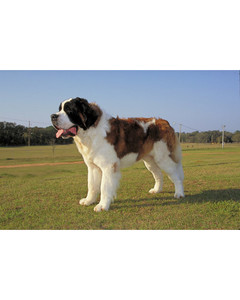 akc_working_saintbernard_bloom.jpg