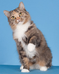 cat-breeds-raga-muffin-ig16_261.jpg