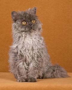 cat-breeds-selkirk-rex-ma24_238.jpg