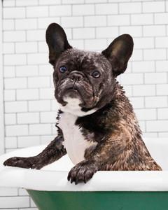 dog-bath-french-bulldog-ms110983.jpg