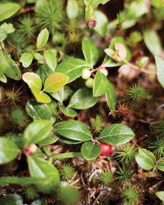 wildberry-foraging-0811mld106417.jpg