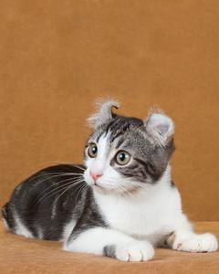 cat-breeds-american-curl-jk17_358.jpg