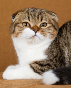 cat-breeds-scottish-fold-ma16_526.jpg