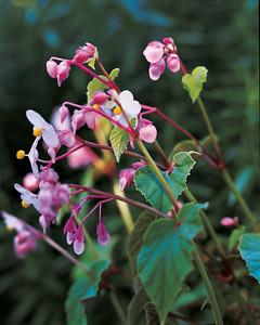 hardy-begonia-flower-0811mld010z4.jpg