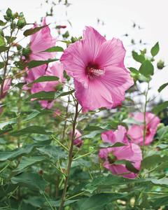 hardy-hibiscus-0711mld106426-0909.jpg