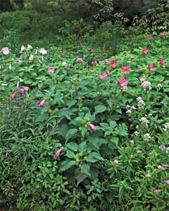 hardy-hibiscus-0711mld106426-7256.jpg