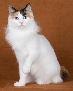cat-breeds-japanese-bobtail-ma02_033.jpg