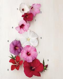hardy-hibiscus-0711mld106426-005-num.jpg