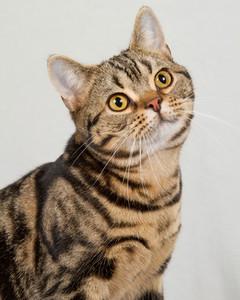 cat-breeds-american-shorthair-mc14_381.jpg