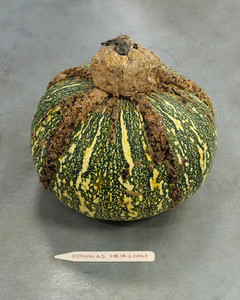 douglas-heirloom-pumpkin-mslb7021.jpg