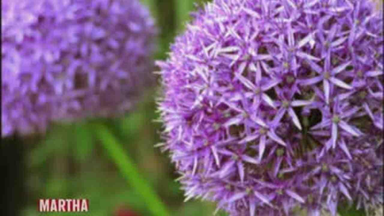 Breck S Giant Allium Bulbs Mixture 15 Pack 72751 The Home Depot
