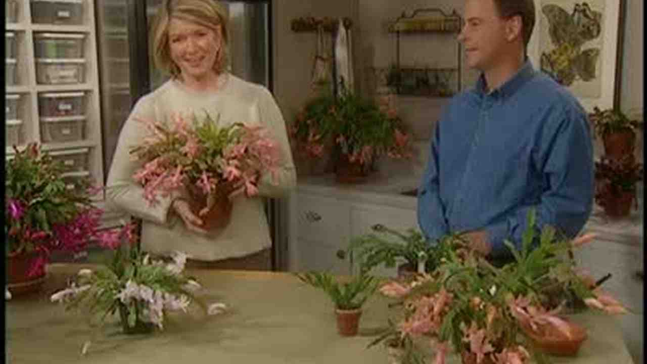 How To Prune A Christmas Cactus.Secrets Of Growing Christmas Cactus
