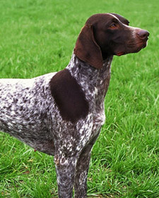AKC Meet the Breeds: German Shorthaired Pointer Martha ...