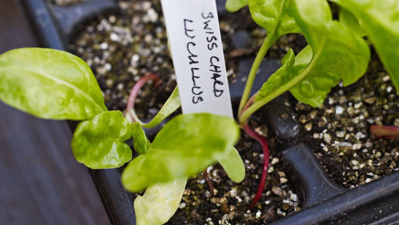 seedling chard