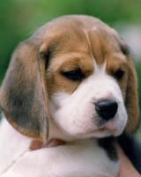 AKC Meet the Breeds: Beagle