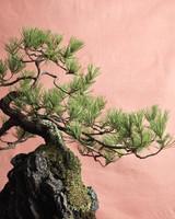 bonsai-pine-mld108122.jpg