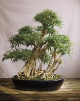 bonsai-ficus-mld108122.jpg