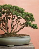 bonsai-boxwood-mld108122.jpg