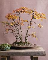 bonsai-hornbeam-mld108122.jpg
