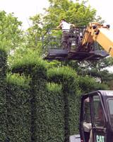 pruning-hornbeam-hedges-21.jpg