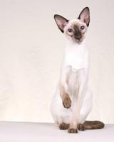 CFA Pedigreed Breed: Siamese