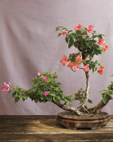 bonsai-bouganveillea-mld108122.jpg
