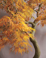 bonsai-japanese-maple-mld108122.jpg