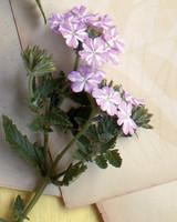 mld104318_0609_lanai_lavender_star.jpg