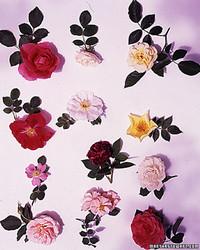 Hearty Rose Shrubs