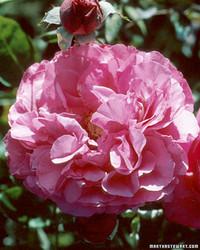 fragrant roses - Fragrant Roses