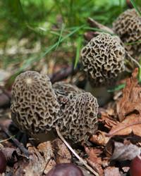 Francesca Finds Morel Mushrooms