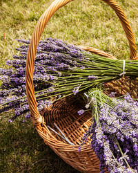 How to Make Lavender Body Oil