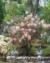 Smoke Bush: Martha's Fairytale Plants