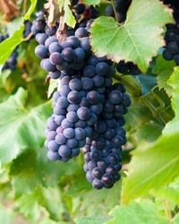 Drinking Green: The Differences Between Organic, Biodynamic, and Sustainable Wines