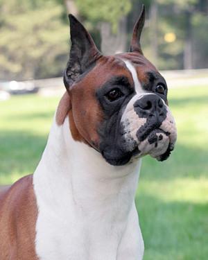 AKC Meet the Breeds: Boxer