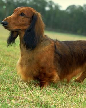 AKC Meet the Breeds: Dachshund